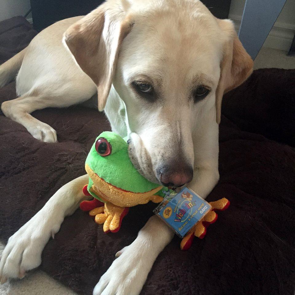 A Yellow Labrador Retriever chews a toy frog